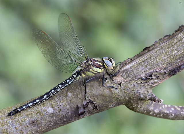 IMG_Hairy dragonfly  male