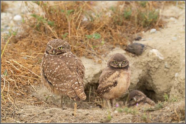 Burrowing Owl Family 2518