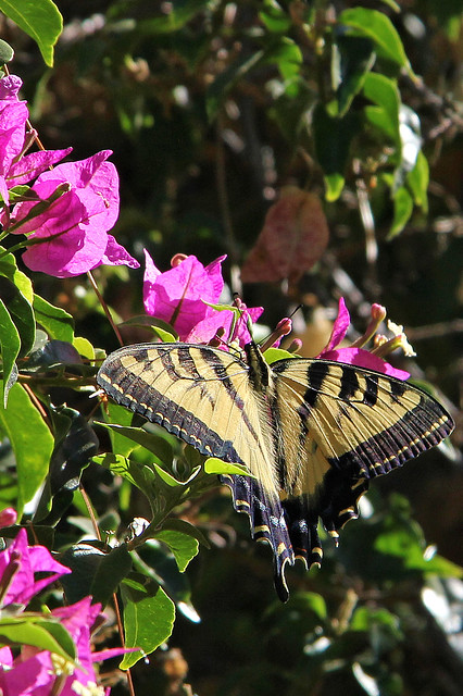 Western Tiger Swallowtail butterfly.