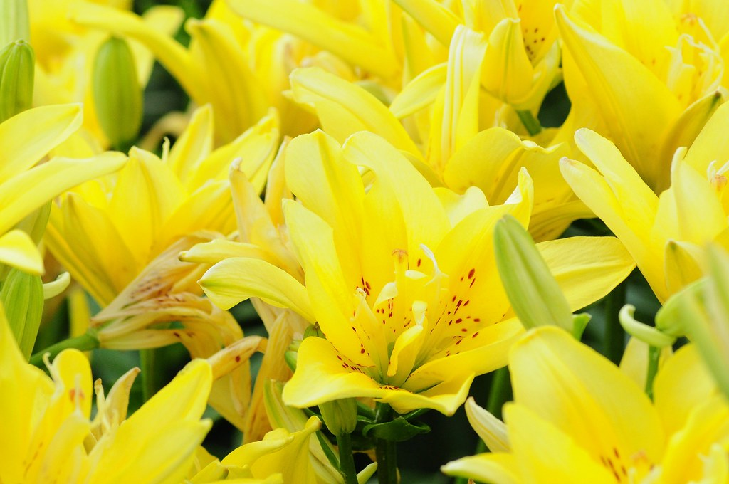 2021.06.17 Yellow Lilies (D90)