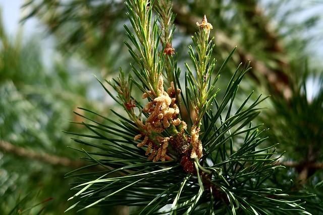 Pine tree flowering time