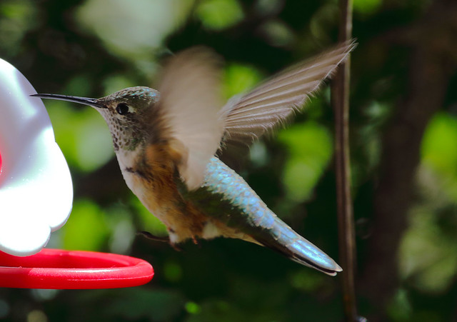 Broad-tailed Hummingbird -- Juvenile Male? (Selasphorous platycercus); Santa Fe National Forest, NM, Thompson Ridge [Lou Feltz]