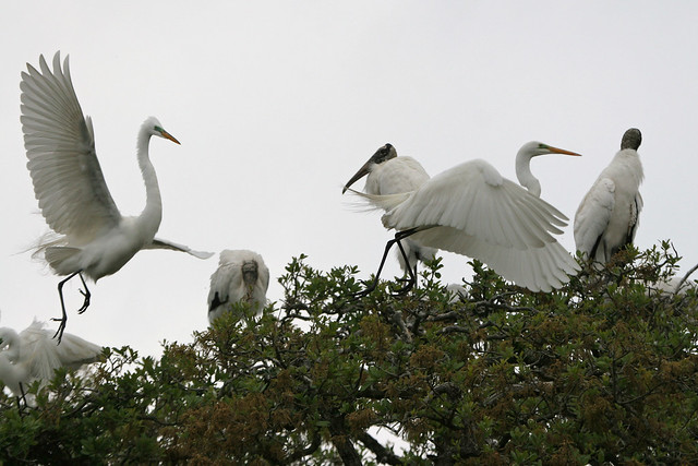 Wood Stork -283