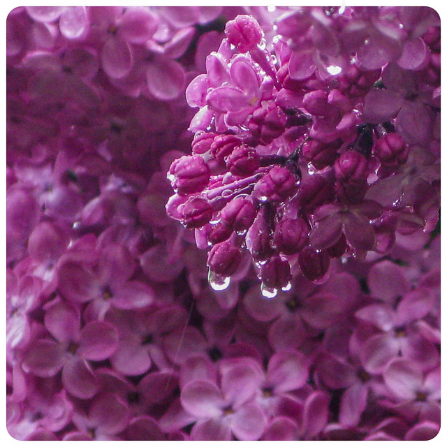 Lilacs and Raindrops