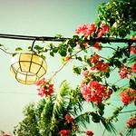 bougainvillea light