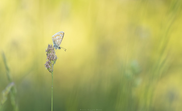 Brown Argus roosting amongst the grass.