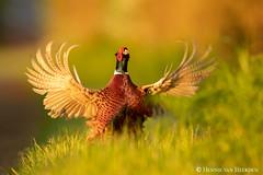 The pheasant's symphony