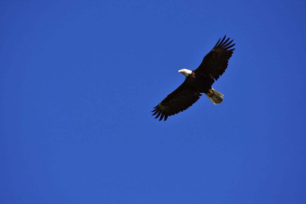 DSC_7427 Male Bald Eagle @ Centerport, double click the photo for closeup view