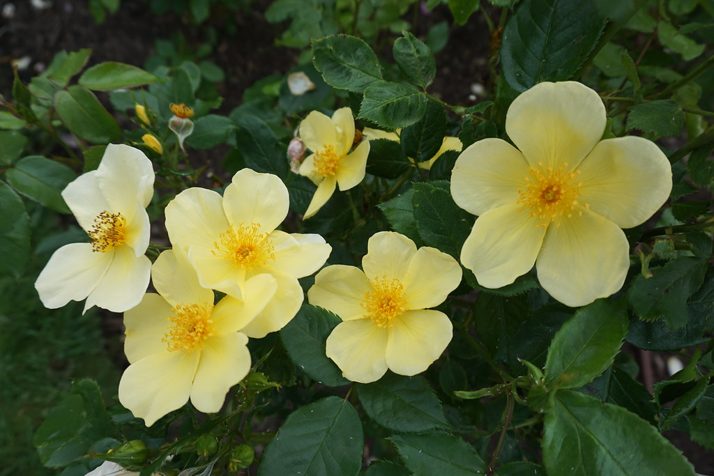 New Variety of Rose - 'Tottering by Gently'
