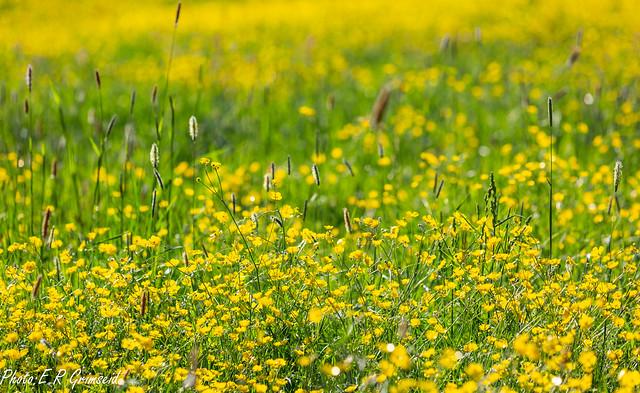 Meadow buttercups