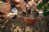 A gardener putting soil in a pot around a plant which was moved to a new pot