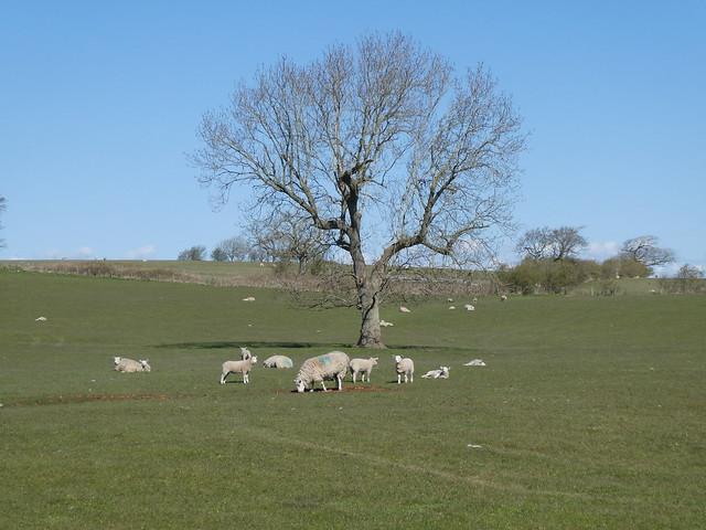 Thurnham - Tree & Sheep 210410