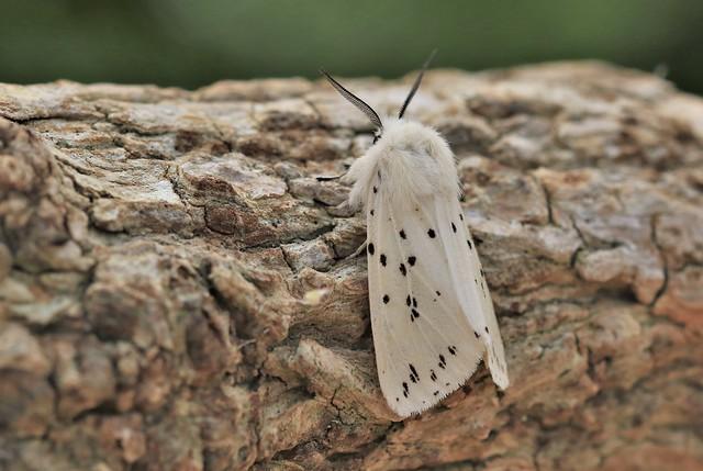 White Ermine Moth      (Spilosoma lubricipeda)
