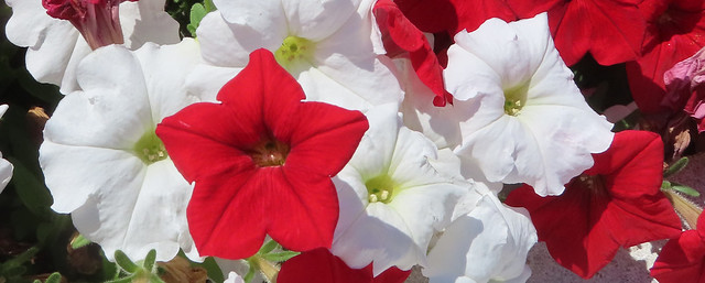 red petunia among white, cemetery, Centre Presbyterian church, PA