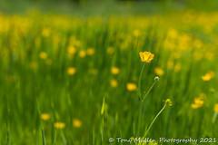 Summer Meadows