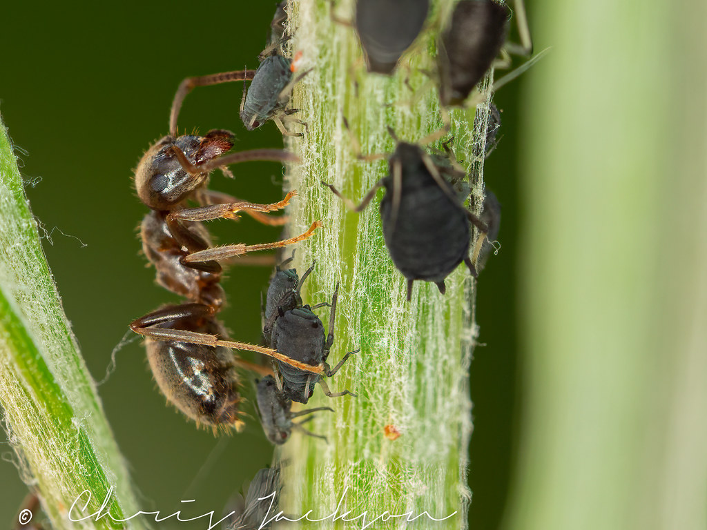 Ants minding a flock of aphids
