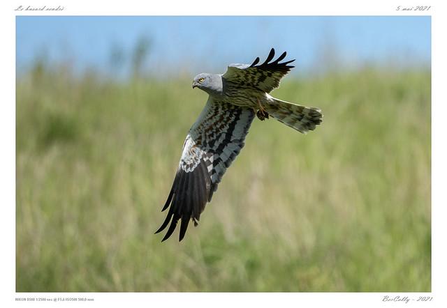 Le busard cendré    Montagu's Harrier
