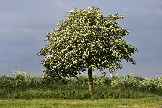 Blühende Schwedische Mehlbeere (Sorbus intermedia) und Wiesen-Kerbel (Anthriscus sylvestris); Wohlde, Stapelholm (4)