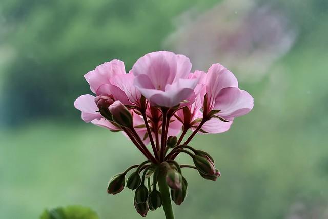 Pelargonium.  Geraniaceae family.