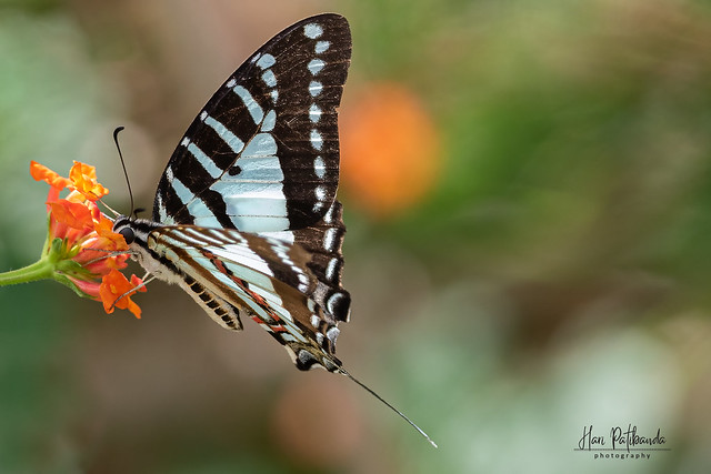 A Chain Swordtail Swallowtail Butterfly in action