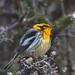 Blackburnian Warbler Lamanch Trail 2021-06-17