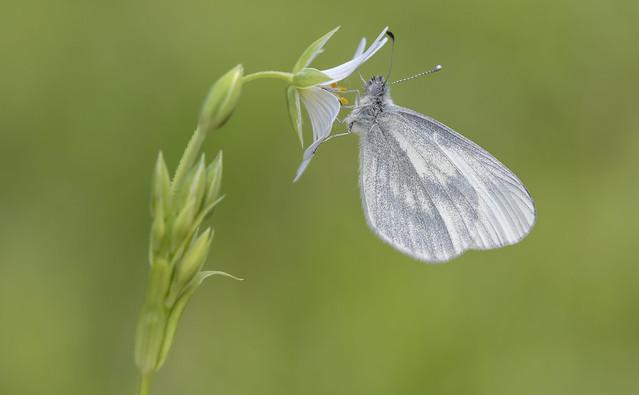 Wood White (Leptidea sinapis).