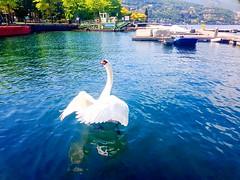 Swan at the Como Lake - Italy