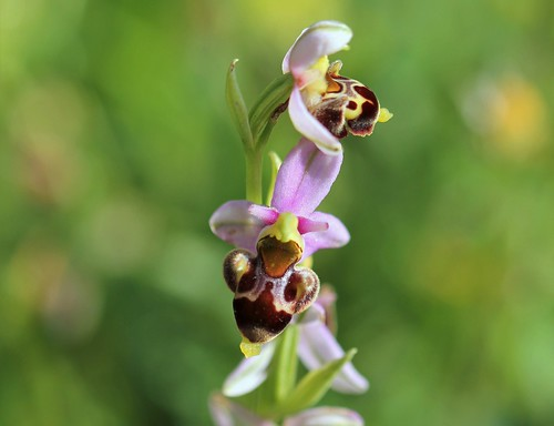 Ophrys hybride , apiflora x fuciflora probable  51253685623_7a87d9ff88