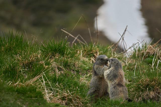 Murmeltiere beim Spielen... marmots playing