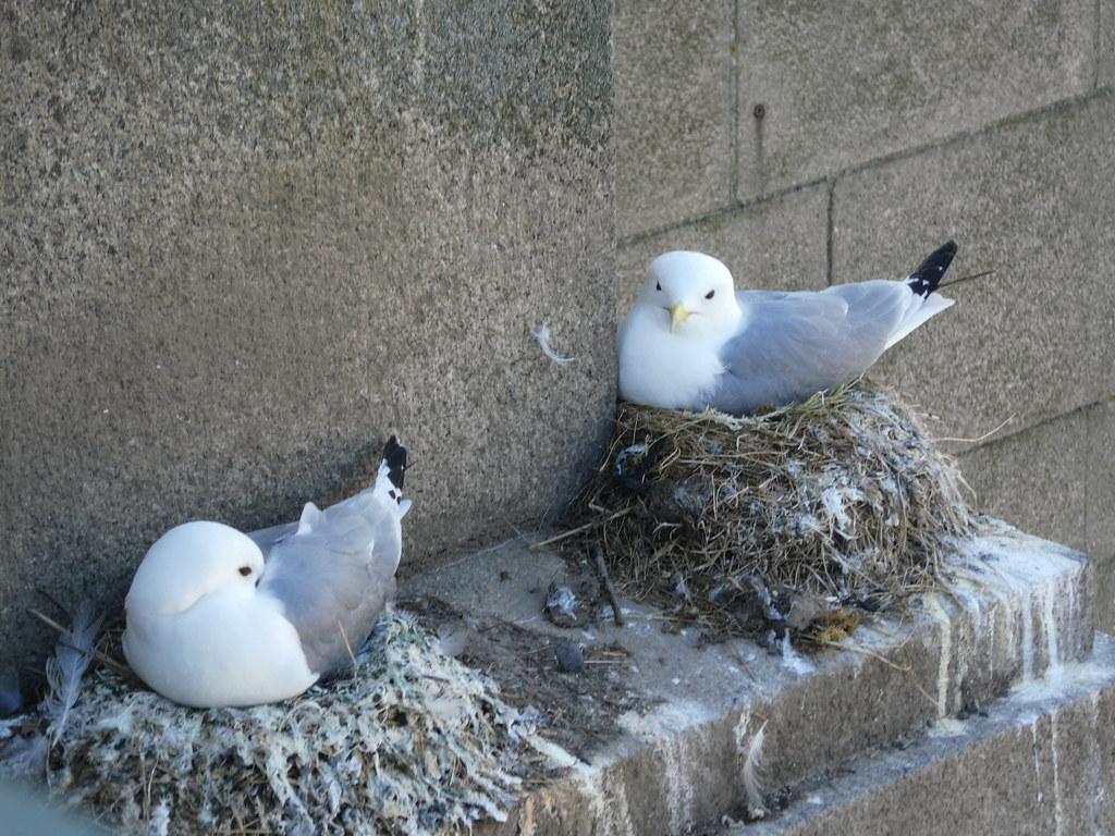 Kittiwakes nesting on the Tyne Bridge