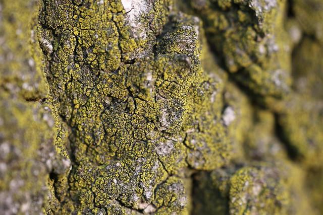 Genus Chrysothrix {Gold Dust Lichens} (?), perhaps C. candelaris