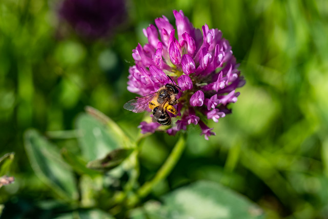 Berlin, Gärten der Welt: Wiesenklee (Rotklee) mit einer Ackerhummel (vermutlich) - Berlin, Gardens of the World: Red clover with a carder bee (probably)