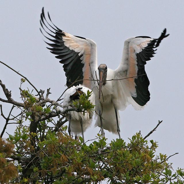 Wood Stork -306