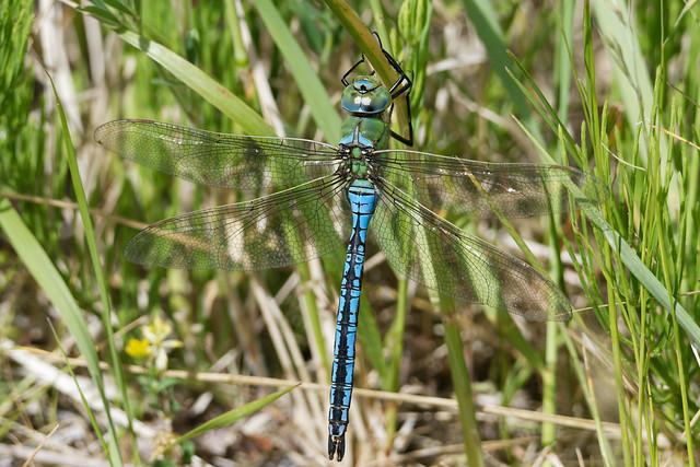 Blue Emperor, male (Anax imperator) Blå kejsartrollslända