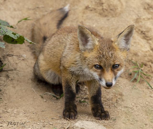 jeune renard curieux !