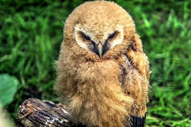 Baby Owl Growing....