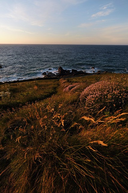 Sea thrift on the Island, St Ives