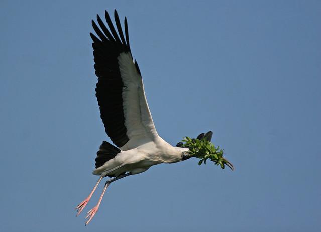 Wood Stork -321