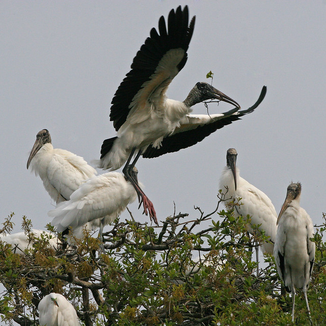 Wood Stork -299