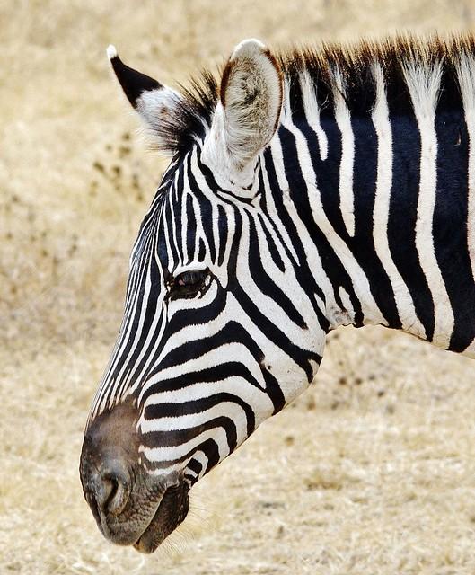 Zebra Portrait (Equus quagga)