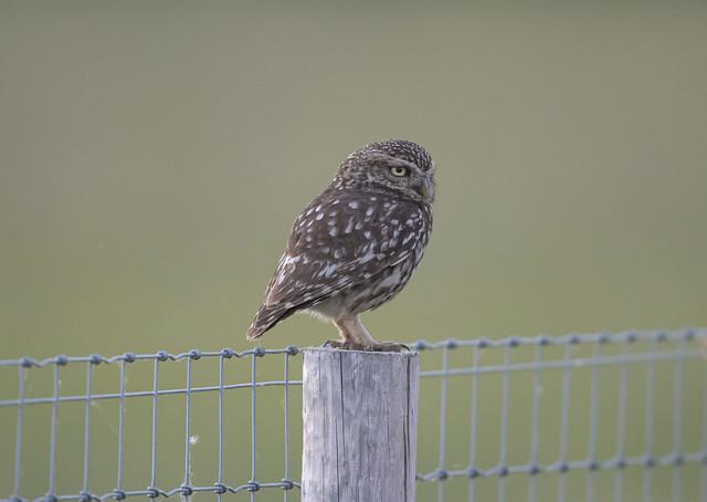 Little Owl--10