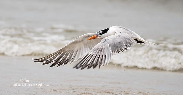 Royal-Tern-Flying-Low