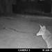 coyote-20210615-101