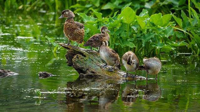 A Wood Duck Mom with the Kids