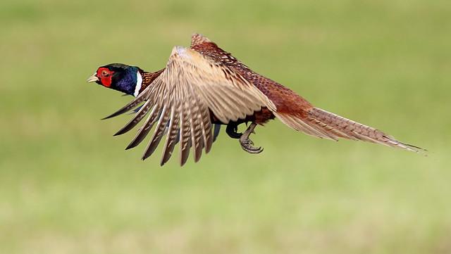 Pheasant Berzerker