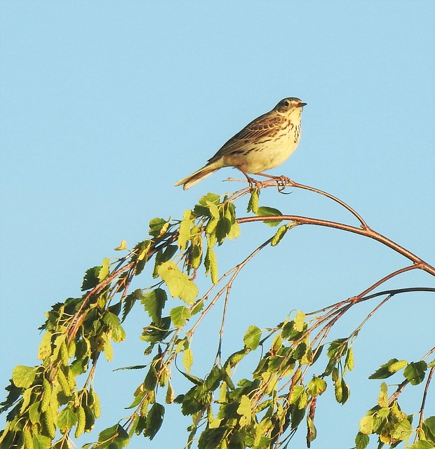 Tree Pipit at Pegswood Moor Country park