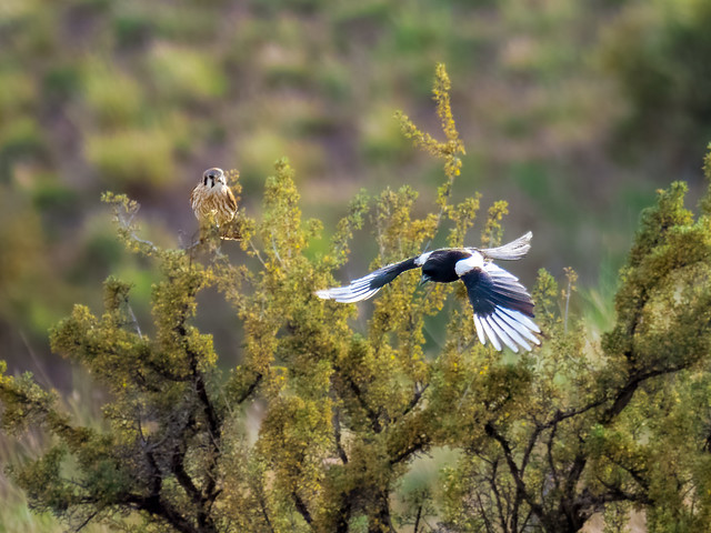Tale of a Kestrel and Magpie, Spring 2021