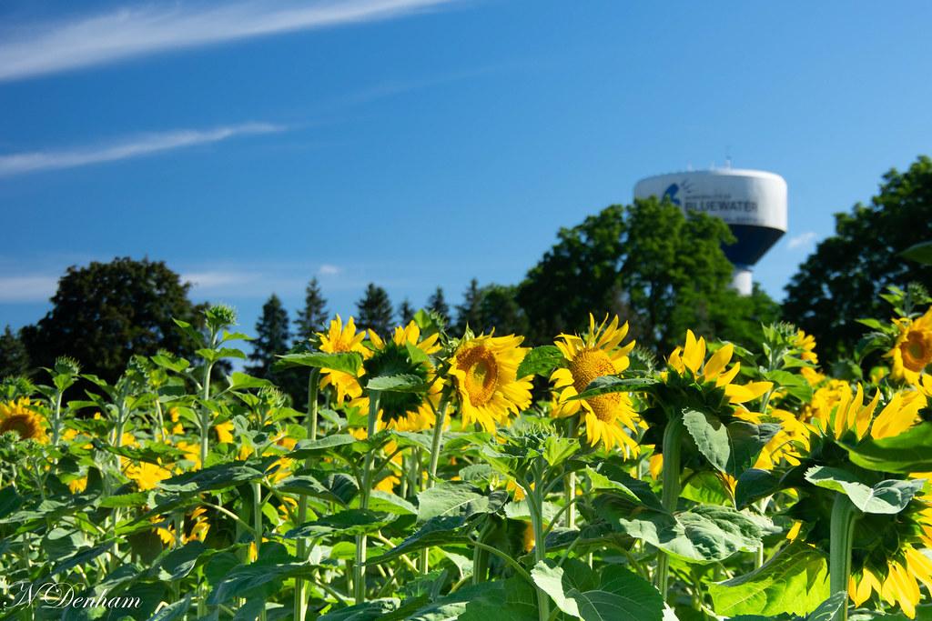 Sunflowers in Bayfield Nancy Denham(1 of 1)-2.jpg