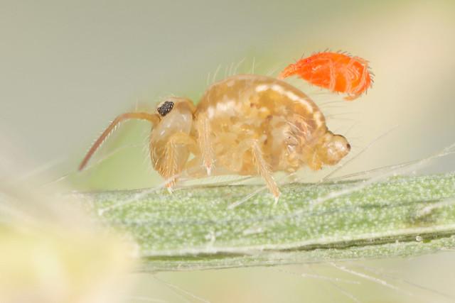 Sminthurus viridis ssp cinereoviridis male