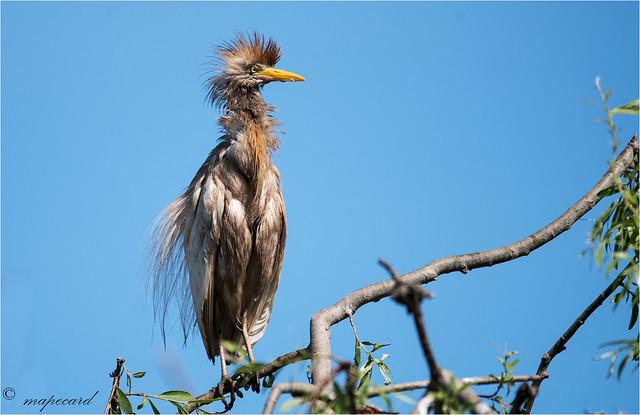 Carraceiro (Bulbucus ibis).